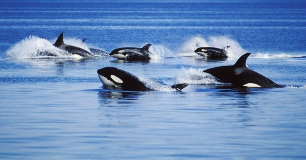 Whales Help Explain the Evolutionary Mystery of Menopause