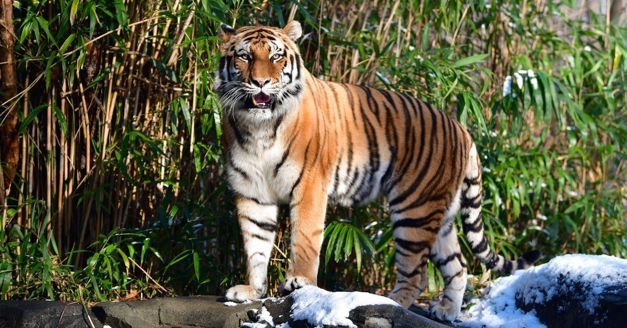 The Real Reason Veterinarians Gave a Tiger a Covid-19 Test
