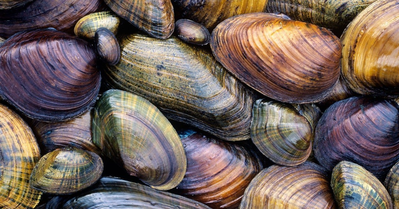 Freshwater Mussels Are Dying—Which Is the Likeliest Culprit?